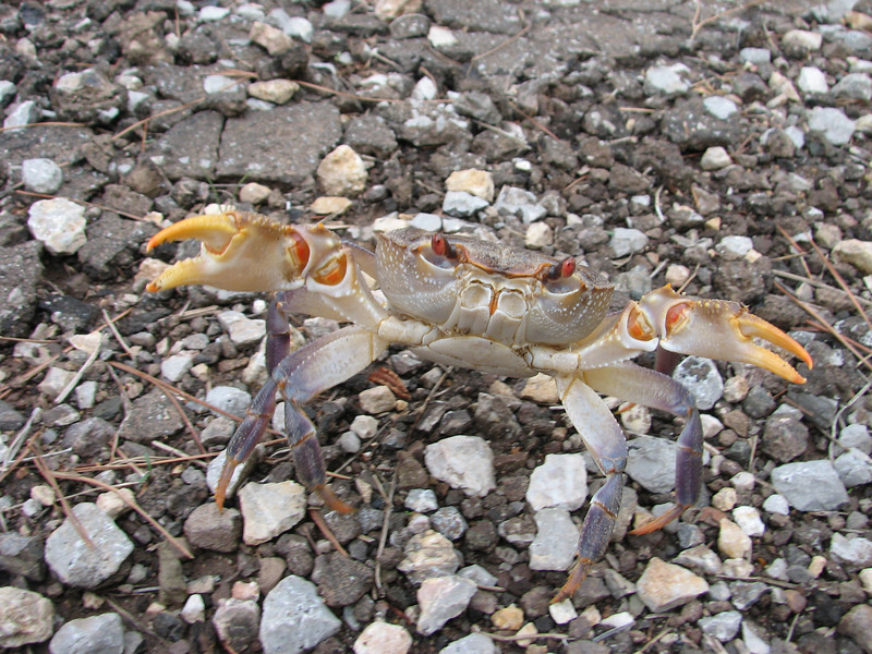 crab (Southwestern Turkey)