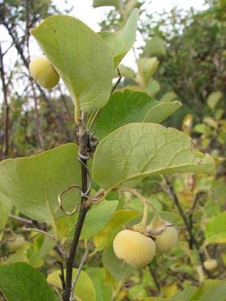 Styrax officinalis (Between Besehir and Akseki, Konya Province)