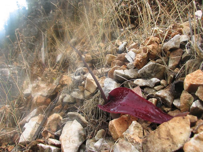 Biarum pyrami? (near Manavgat, SW Turkey)