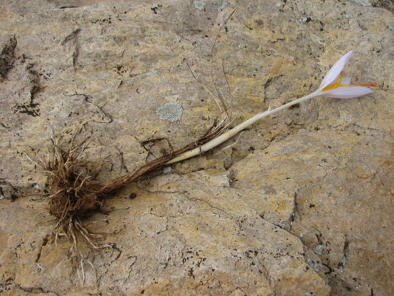 bulb of Crocus asumaniae (only for determination purposes) (Akseki , Southwestern Turkey)