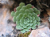 Rosularia globulariifolia (near Manavgat, Southwestern Turkey)