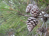 pinecones of Pinus nigra (Southwestern Turkey)