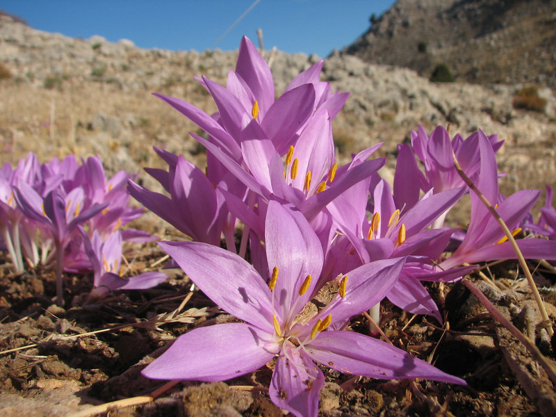 Colchicum sanguicolle (dirt road west of Yesilbarak, Akdaglari, SW Turkey)