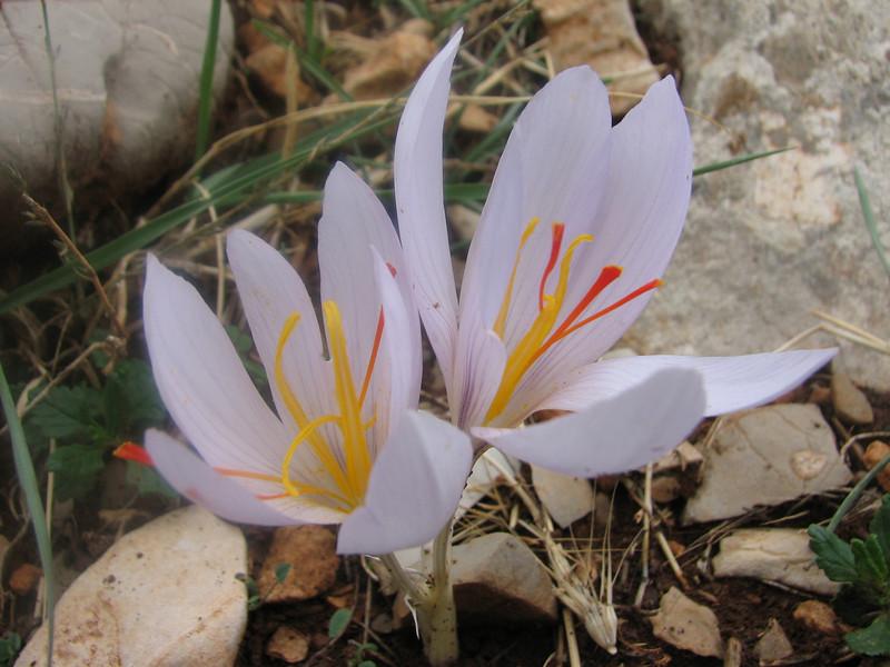 bulb of Crocus asumaniae (only for determination purposes) (Akseki , Southwestern Turkey)
