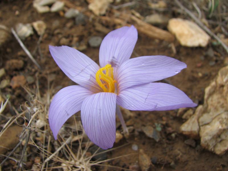 Crocus pallasii ssp. dispathaceus (Between Besehir and Akseki, Konya Province)