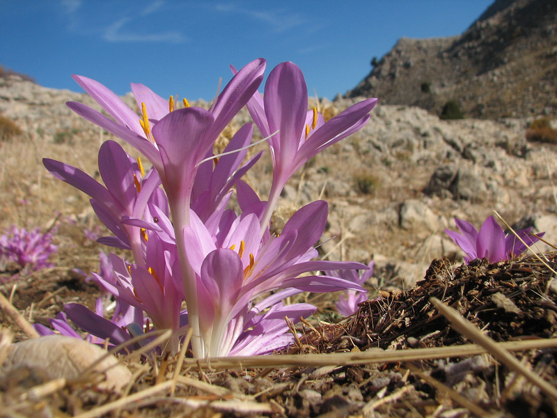 Colchicum sanguicolle (dirt road west of Yesilbarak, Akdaglari, SW Turkey)
