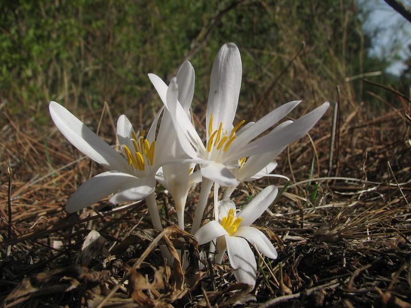Colchicum decaisnei (Akseki 520m.Southwestern Turkey)