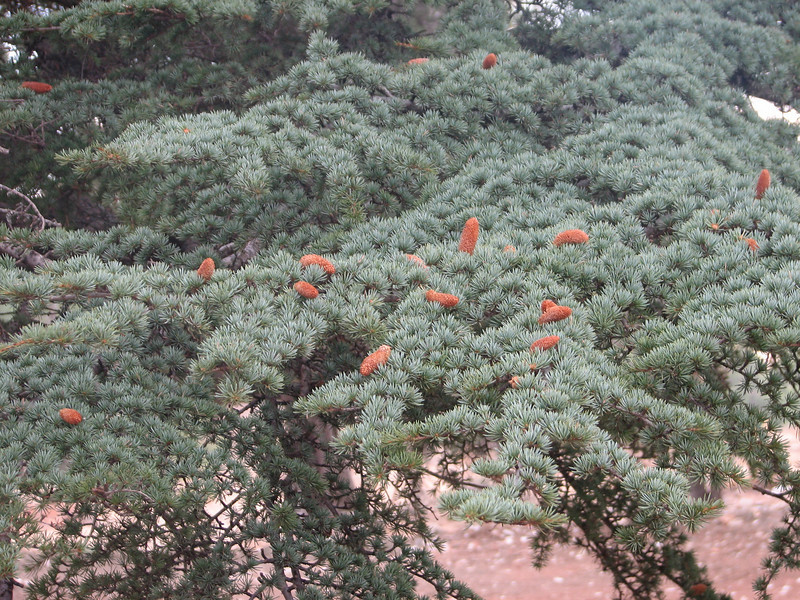 Cedrus libani, cones (near Olimpos, Tahtali Dagi, SW Turkey)