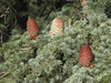 cones of Cedrus libani, cones (near Olimpos, Tahtali Dagi, SW Turkey)