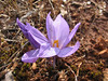 Crocus pallasii ssp. dispathaceus (Between Besehir and Akseki, Konya Province)