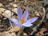 Crocus speciosus (Between Besehir and Akseki, Konya Province)