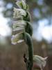 flower of Spirantes spiralis (Akseki 520m.Southwestern Turkey)