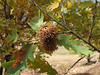 Quercus cerris ssp. cerris, Turkish oak (Between Besehir and Akseki, Konya Province)