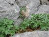 Pelargonium endlecherianum (Akseki, Southwestern Turkey)