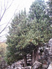 Juniperus drupacea ( Southwestern Turkey)