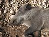 Sus scrofa, Wild Boar (NW of Kumluca SW Turkey)