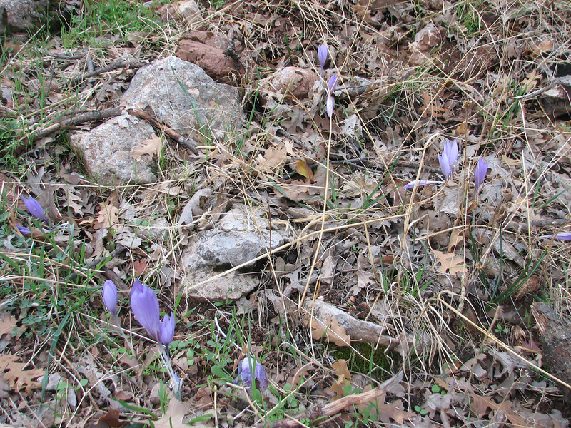 Crocus speciosus (Between Besehir and Akseki, Konya Province)