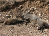 Sus scrofa, Wild Boar, trafic accident? NW of Kumluca SW Turkey)