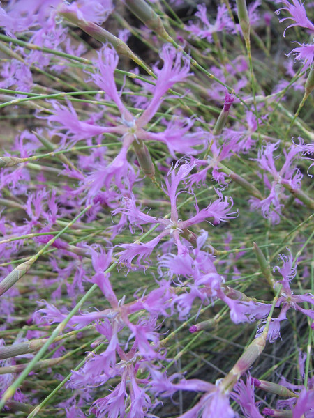 Dianthus spec. ((just NW of Kumluca Southwestern Turkey)
