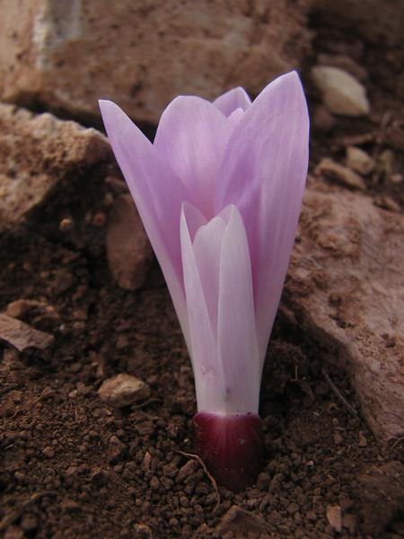 Colchicum sanguicolle (Baba Daglari 1671m., Southwestern Turkey)