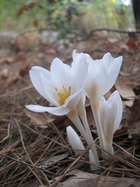 Colchicum decaisnei (just NW of Kumluca SW Turkey)