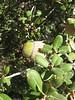 Quercus aucheri (Finike, 25m altitude, SW Turkey)