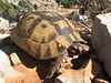 Testudo graeca (NL: Moorse landschildpad)(Finike, 25m altitude, SW Turkey)