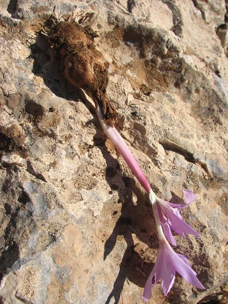 bulb of Colchicum sanguicolle (only for determination purpose)(dirt road west of Yesilbarak, Akdaglari, SW Turkey)