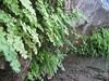 Adiantum capillus-veneris (just NW of Kumluca SW Turkey)