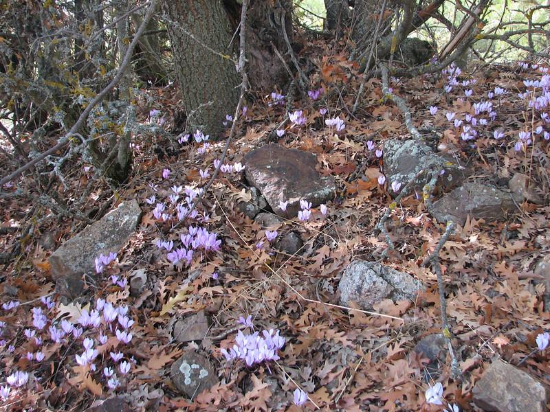 Cyclamen cilicium (Akseki, Southwestern Turkey)