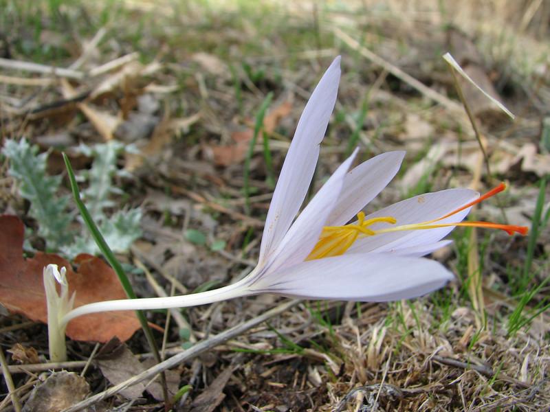 Crocus asumaniae (Akseki , Southwestern Turkey)