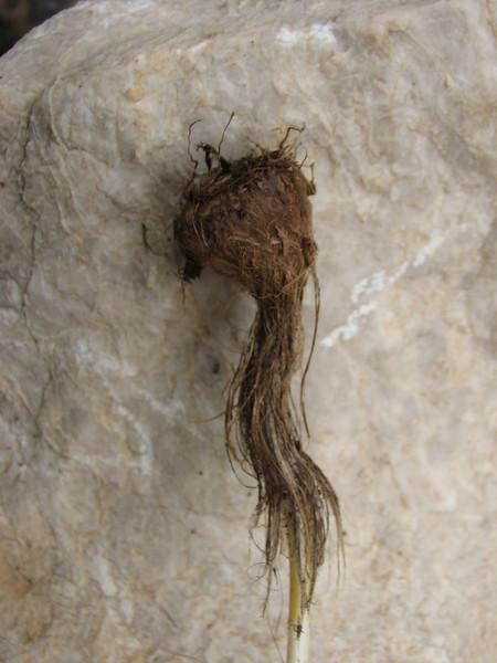 bulb of Crocus speciosus (only for determination purpose)(Between Besehir and Akseki, Konya Province)