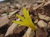 Sternbergia colchiciflora (Baba Daglari 1671m., Southwestern Turkey)