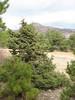 Juniperus phoenicea (near Gölhisar, SW Turkey)