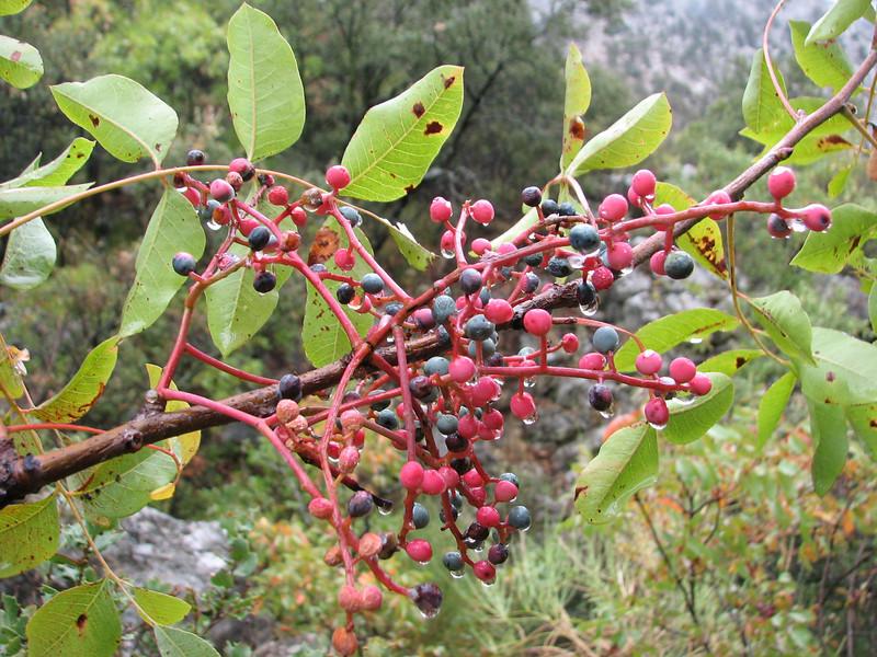 Pistacia atlantica  (Termessos, Southwestern Turkey)