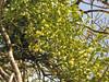 fruit of Viscum album on Prunus amygdalus (near Akalan, southern side of Spil Dağı)