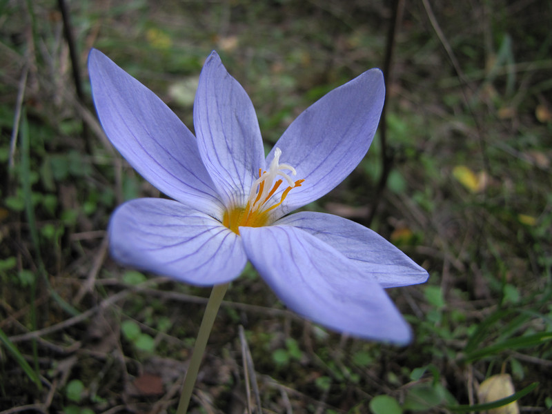 Crocus pulchellus (Along road between Balikesir and Dada, at about 350m altitude and about 35km east of Balikesir)