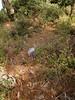 Cyclamen hederifolium ssp. hederifolium (along road from Manisa to Akalan, about 500m altitude, Spil Dağı)