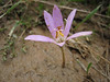 Colchicum micaceum (from pass in the mountains above the town of Babadağ, 2 km west on a dirt road, about 1450m altitude)