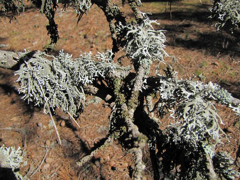 Evernia prunastri, Oakmoss on Pinus nigra ssp. pallasiana  (Between Bursa and Uludag, 900m altitude)
