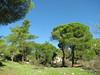 Pinus pinea (A few kilometres south of Labranda)