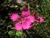 Dianthus zonatus (near entrance of Spil Dağı Milli Parki, at about 1000m altitude)