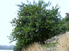 Ceratonia siliqua (Past Turgut Köy on the way to Datça)