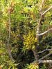 the parasite Arceuthobium oxycedri on Juniperus oxycedrus ssp. oxycedrus (along road from Manisa on Spil Dağı, about 1000m altitude)