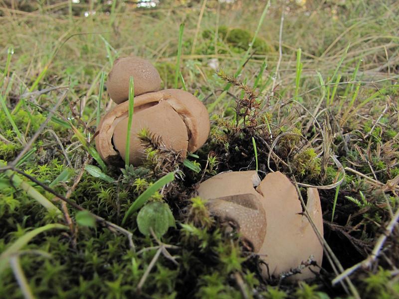 Geastrum fimbriatum, Sessile earthstar (NL: gewimperde aardster) (along road from Manisa on Spil Dağı, at about 1000m altitude)