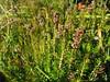 Bruckenthalia spiculifolia (Uludag)