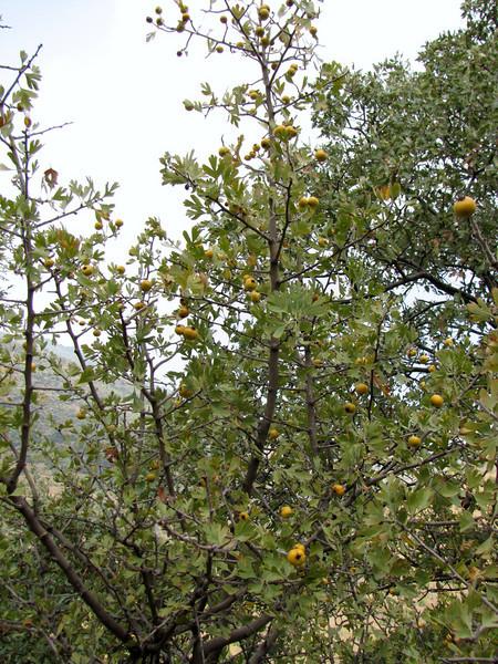 Crataegus spec. (Between Nazilli and Beydağ, before pass, 350m altitude, 15km N of Nazilli, Aydin Dağlari)