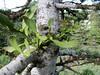 Viscum album ssp. abietis? on Abies bornmuelleriana, Uludag fir (on granite, 1750m altitude, Uludag)
