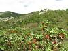 Arbutus andrachne (Datça Peninsula)