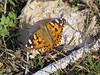 Cynthia cardui, (NL: distelvlinder)(near Akalan, southern side of Spil Dağı)